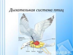 Дыхательная система птиц