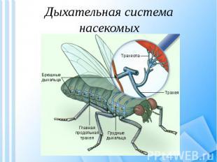 Дыхательная система насекомых