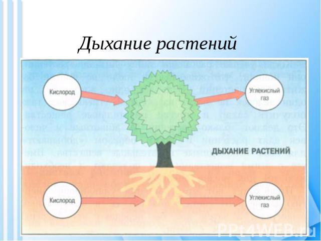 Дыхание растений