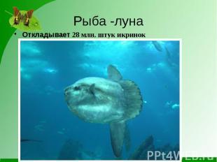 Рыба -лунаОткладывает 28 млн. штук икринок