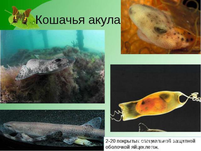 Кошачья акула 2-20 покрытых специальной защитной оболочкой яйцеклеток.