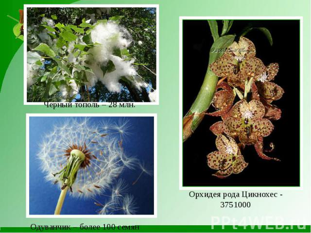 Орхидея рода Цикнохес - 3751000