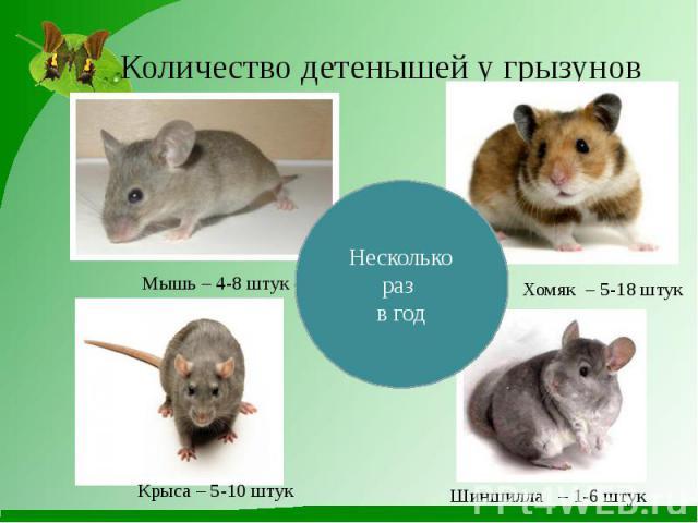 Количество детенышей у грызунов Мышь – 4-8 штук Хомяк – 5-18 штук Крыса – 5-10 штук Шиншилла – 1-6 штук