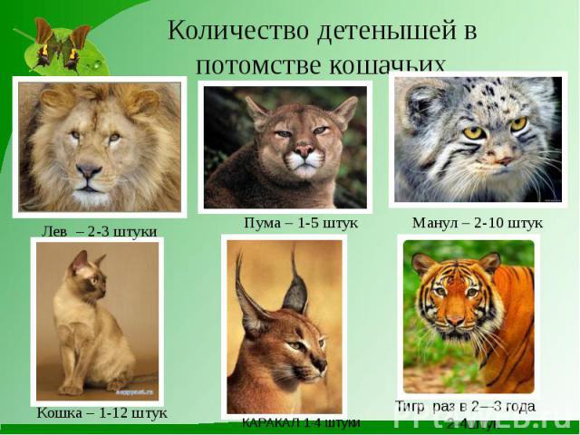 Количество детенышей в потомстве кошачьих