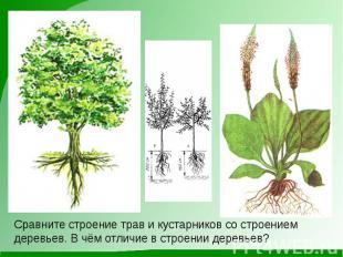 Сравните строение трав и кустарников со строением деревьев. В чём отличие в стро