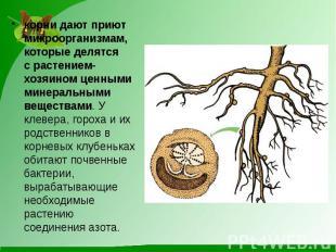 корни дают приют микроорганизмам, которые делятся срастением-хозяином ценными м