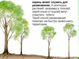 корень может служить для размножения. У некоторых растений, например утополей,