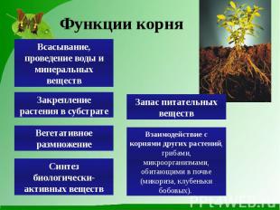 Функции корня Всасывание, проведение воды и минеральных веществ Закрепление раст