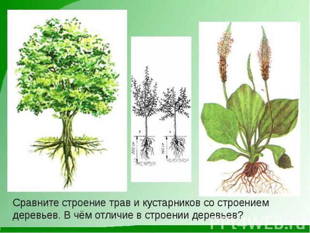 Сравните строение трав и кустарников со строением деревьев. В чём отличие в строении деревьев?