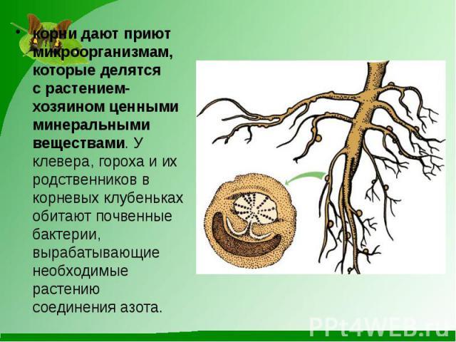 корни дают приют микроорганизмам, которые делятся срастением-хозяином ценными минеральными веществами. У клевера, гороха и их родственников в корневых клубеньках обитают почвенные бактерии, вырабатывающие необходимые растению соединения азота.