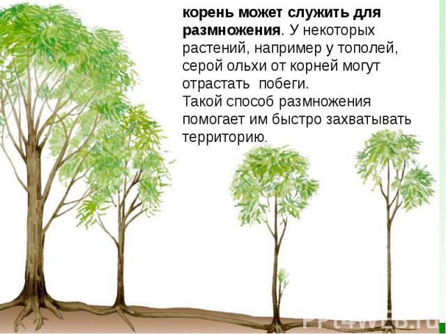 корень может служить для размножения. У некоторых растений, например утополей, серой ольхи откорней могут отрастать побеги. Такой способ размножения помогает им быстро захватывать территорию.