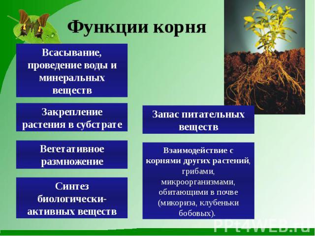 Функции корня Всасывание, проведение воды и минеральных веществ Закрепление растения в субстрате Вегетативное размножение Синтез биологически-активных веществ Запас питательных веществ Взаимодействие с корнями других растений, грибами, микроорганизм…