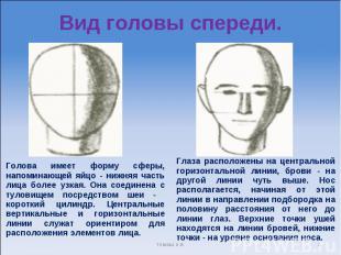 Вид головы спереди. Голова имеет форму сферы, напоминающей яйцо - нижняя часть л