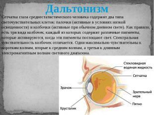 Сетчатка глаза среднестатистического человека содержит два типа светочувствитель