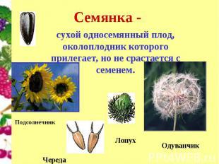 сухой односемянный плод, околоплодник которого прилегает, но не срастается с сем