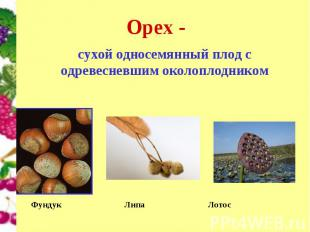 Орех - сухой односемянный плод с одревесневшим околоплодником