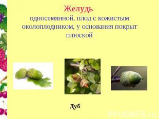 Желудьодносемянной, плод с кожистым околоплодником, у основания покрыт плюской