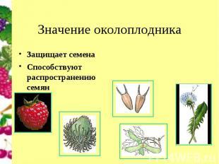 Защищает семенаЗащищает семенаСпособствуют распространению семян