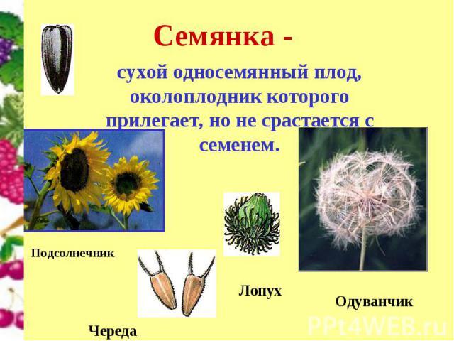 сухой односемянный плод, околоплодник которого прилегает, но не срастается с семенем.