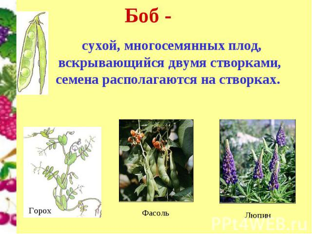 Боб - сухой, многосемянных плод, вскрывающийся двумя створками, семена располагаются на створках.