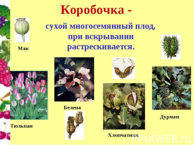 Коробочка - сухой многосемянный плод, при вскрывании растрескивается.