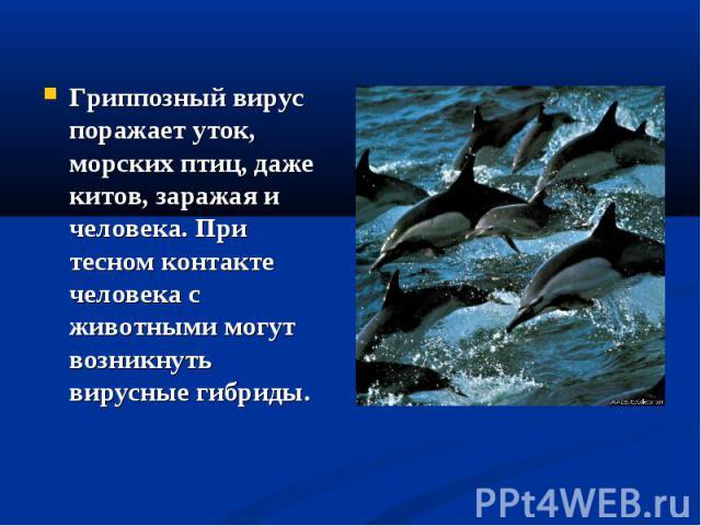 Гриппозный вирус поражает уток, морских птиц, даже китов, заражая и человека. При тесном контакте человека с животными могут возникнуть вирусные гибриды.