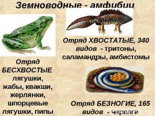 Земноводные - амфибии Отряд БЕСХВОСТЫЕ лягушки, жабы, квакши, жерлянки, шпорцевы