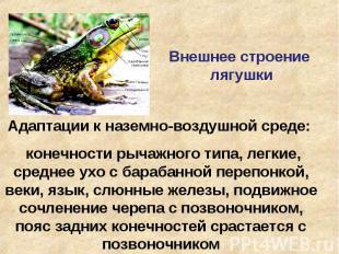 Внешнее строение лягушки Адаптации к наземно-воздушной среде: конечности рычажно
