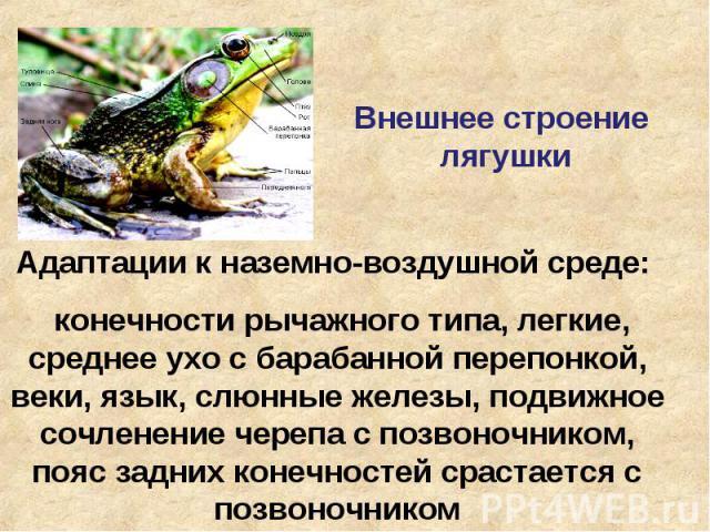 Внешнее строение лягушки Адаптации к наземно-воздушной среде: конечности рычажного типа, легкие, среднее ухо с барабанной перепонкой, веки, язык, слюнные железы, подвижное сочленение черепа с позвоночником, пояс задних конечностей срастается с позво…