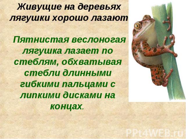 Живущие на деревьях лягушки хорошо лазают Пятнистая веслоногая лягушка лазает по стеблям, обхватывая стебли длинными гибкими пальцами с липкими дисками на концах.