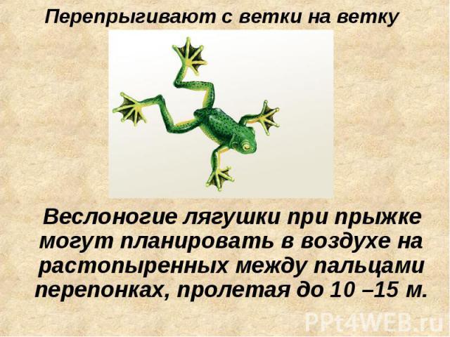Перепрыгивают с ветки на ветку Веслоногие лягушки при прыжке могут планировать в воздухе на растопыренных между пальцами перепонках, пролетая до 10 –15 м.