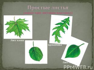 Простые листья (имеют одну листовую пластинку) Лист клена Лист одуванчика Лист с