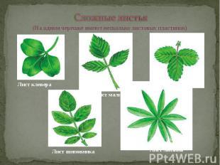 Сложные листья (На одном черешке имеют несколько листовых пластинок)