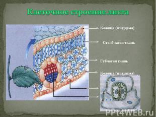 Клеточное строение листаКожица (эпидерма) Столбчатая ткань Губчатая ткань Кожица