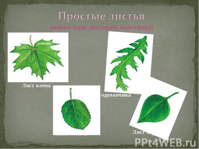 Простые листья (имеют одну листовую пластинку) Лист клена Лист одуванчика Лист сирени