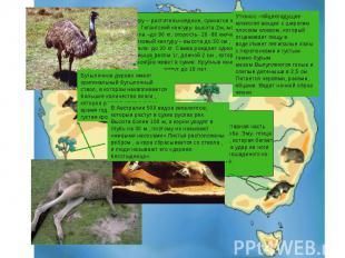 Кенгуру – растительноядное, сумчатое живот-ное. Гигантский кенгуру- высота-2м, м