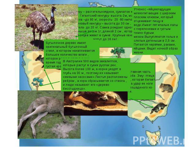 Кенгуру – растительноядное, сумчатое живот-ное. Гигантский кенгуру- высота-2м, масса тела –до 90 кг, скорость- 20 -80 км/час. Карликовый кенгуру – высота до 30 см , массатела- до 20 кг. Самка рождает одного детеныша весом 1г, длиной 2 см , который д…