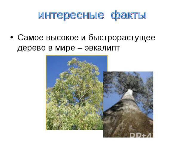интересные факты Самое высокое и быстрорастущее дерево в мире – эвкалипт