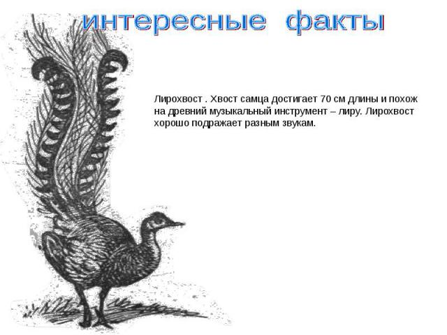 интересные факты Лирохвост . Хвост самца достигает 70 см длины и похожна древний музыкальный инструмент – лиру. Лирохвостхорошо подражает разным звукам.