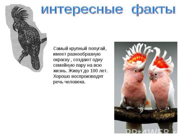 интересные факты Самый крупный попугай,имеет разнообразную окраску , создают одну семейную пару на всю жизнь. Живут до 100 лет.Хорошо воспроизводят речь человека.