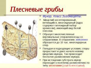 Плесневые грибы Мукор. Класс Зигомицеты. Мицелий несептированный, ветвящийся, мн