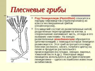 Плесневые грибы Род Пенициллиум (Penicillium) относится к порядку гифомицетов (H