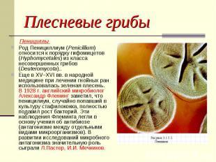 Плесневые грибы Пенициллы Род Пенициллиум (Penicillium) относится к порядку гифо