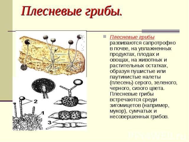 Плесневые грибы. Плесневые грибы развиваются сапротрофно в почве, на увлажненных продуктах, плодах и овощах, на животных и растительных остатках, образуя пушистые или паутинистые налеты (плесень) серого, зеленого, черного, сизого цвета. Плесневые гр…