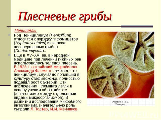 Плесневые грибы Пенициллы Род Пенициллиум (Penicillium) относится к порядку гифомицетов (Hyphomycetales) из класса несовершенных грибов (Deuteromycota)..Еще в XV–XVI вв. в народной медицине при лечении гнойных ран использовалась зеленая плесень. В 1…