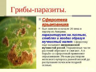Грибы-паразиты. Сферотека крыжовника был завезен в начале 20 века в европу из Ам