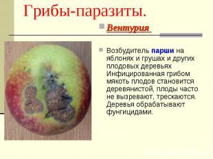 Грибы-паразиты. Вентурия Возбудитель парши на яблонях и грушах и других плодовых