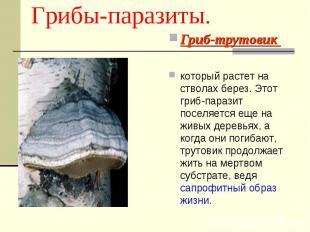 Грибы-паразиты. Гриб-трутовик который растет на стволах берез. Этот гриб-паразит