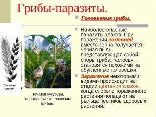 Грибы-паразиты. Початки кукурузы, пораженные головневым грибом Головневые грибы.