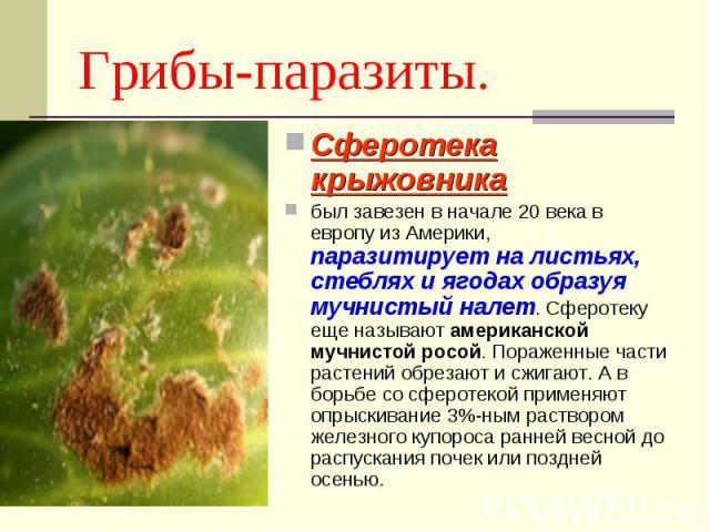 Грибы-паразиты. Сферотека крыжовника был завезен в начале 20 века в европу из Америки, паразитирует на листьях, стеблях и ягодах образуя мучнистый налет. Сферотеку еще называют американской мучнистой росой. Пораженные части растений обрезают и сжига…